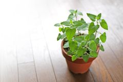 Fresh herb catnip  in a flowerpot Stock Image
