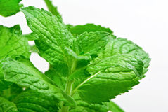 Fresh herb: Grapefruit mint Stock Images
