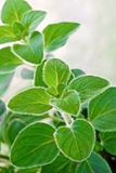 Fresh herb: Greek oregano Stock Images