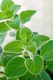 Fresh herb: Greek oregano stock images