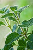 Fresh herb - Greek oregano 2 royalty free stock photos
