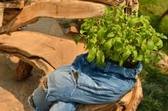 Fresh herb in jeans pot. With worm light Stock Photos