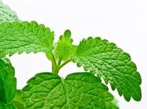 Fresh herb: Lemon balm royalty free stock image