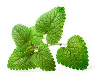 Fresh herb, lemon balm isolated on the white. Background stock photo