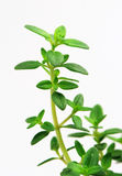 Fresh herb: lemon thyme Stock Photos