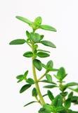 Fresh herb: lemon thyme stock photos