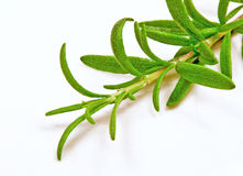 Fresh herb: Rosemary Royalty Free Stock Photos