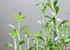 Fresh herb - Savory Stock Photography