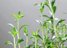 Fresh herb - Savory stock photography