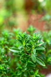 Fresh herb: savory Royalty Free Stock Images