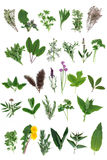 Fresh Herb Selection Royalty Free Stock Photo