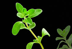 Fresh herb: sweet marjoram stock images