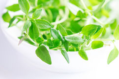 Fresh herb on white Royalty Free Stock Image