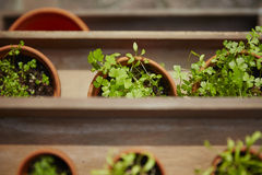 Fresh herbage in pots. Grown in the garden Royalty Free Stock Photos