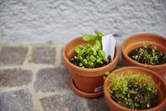 Fresh herbage in pots. Grown in the garden Stock Photo