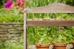 Fresh herbage in pots. Grown in the garden Stock Images