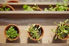 Fresh herbage in pots. Grown in the garden Stock Photos