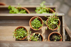 Fresh herbage in pots Royalty Free Stock Images