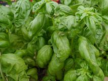 Fresh herbes Stock Image