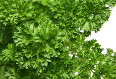Fresh Herbs. Fresh parsley leaves and stalks. Short DOF, focus on central leaves Stock Photography
