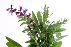 Fresh Herbs. Fresh rosemary, oregano, and flowering sage, with white background stock photos