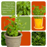 Fresh herbs. Assortment of herbs and aromas for prepare tasty food royalty free stock image