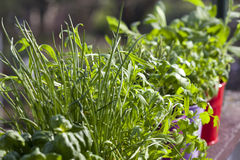 Fresh herbs on the balcony Stock Image