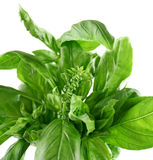 Fresh Herbs Basil 2 Royalty Free Stock Photo
