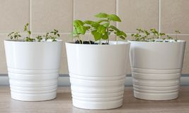 Fresh herbs basil Ocimum basilicum, marjoram Origanum majorana and thyme Thymus vulgaris in white pots on kitchen table. With tiled wall. Provencal herbs royalty free stock photo