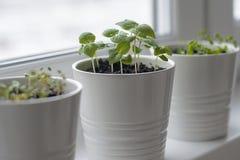 Fresh herbs basil Ocimum basilicum, marjoram Origanum majorana and thyme Thymus vulgaris in white pots on window. Provencal herbs. Healthy food. Gardening stock photography