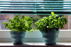 Fresh herbs (basil and parsley). In blue flower-pots on a window sill Royalty Free Stock Images