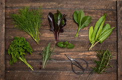 Fresh herbs collection and scissors on old wooden background. Va. Rious aromatic herbs and spices set from garden greens Stock Photos