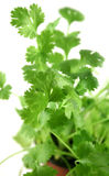 Fresh Herbs Coriander 2 Stock Images