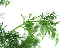 Fresh Herbs Dill 2 Stock Photography