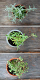 Fresh herbs in flower pots Stock Photography