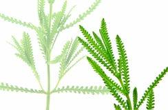 Fresh herbs: French Lavender stock photos
