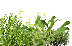 Fresh herbs, herbal garden or herb cultivation Royalty Free Stock Images
