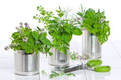 Fresh Herbs In Recycled Cans Royalty Free Stock Photography