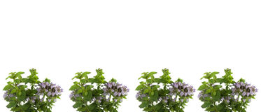 Fresh herbs oregano border Royalty Free Stock Photography