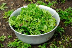 Fresh herbs - parsley, celery, sorrel, green onions, coriander Royalty Free Stock Images