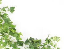 Fresh herbs parsley isolated Stock Image