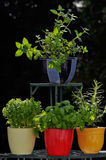 Fresh herbs in pots Stock Photo