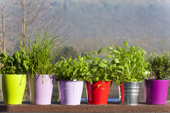 Fresh herbs in pots Royalty Free Stock Images