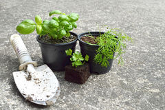 Fresh herbs in pots Stock Photo