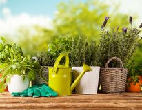 Fresh herbs in pots Stock Image