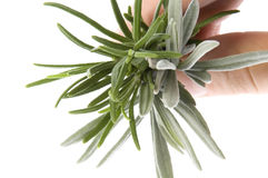 Fresh herbs and spices. rosemary. Isolated on the white Royalty Free Stock Photos