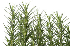 Fresh herbs and spices. rosemary Royalty Free Stock Photography
