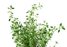 Fresh Herbs Thyme 2 Stock Images