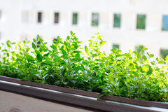 Fresh herbs in a wooden tub. On the street stock image