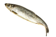 Fresh hering fish Stock Image